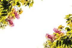 Le vert laisse l'inthanin, fleurs roses d'isolement sur le fond blanc Image stock