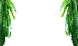Le vert laisse la paume de branche d'isolement sur un fond blanc Image libre de droits