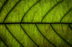 Le vert laisse la texture et la fibre de feuille, papier peint par le détail du gree Image libre de droits