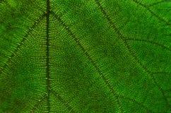 Le vert laisse la texture et la fibre de feuille, papier peint par le détail du gree Images libres de droits