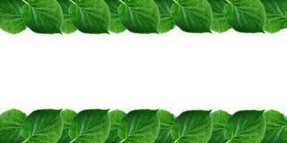 Le vert laisse le cadre d'isolement sur le feuillage frais de ressort blanc de fond avec l'espace libre pour le texte Images stock