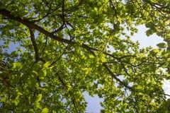 Le vert laisse le fond Photographie stock libre de droits
