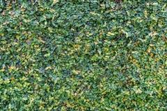 Le vert laisse le mur photos libres de droits