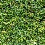 Le vert laisse le mur photographie stock