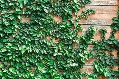Le vert laisse le mur et le bois Photos libres de droits
