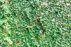 Le vert laisse le mur et le bois Images libres de droits