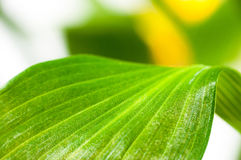 Le vert laisse le plan rapproché Image libre de droits