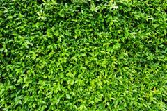 Le vert laisse le mur naturel Images libres de droits