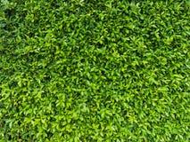 Le vert laisse le mur naturel Photo stock