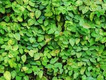 Le vert laisse le mur naturel Images stock