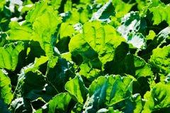 Le vert laisse rétro-éclairé par le fond de lumière du soleil Usines de betterave à sucre s'élevant sur un champ Photographie stock libre de droits