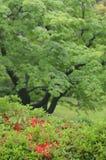 Le vert luxuriant des arbres et des buissons, avec des azeleas rouges, dans un jardin japonais images libres de droits