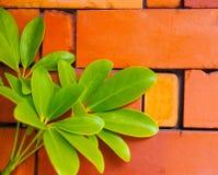 Le vert luxuriant laisse le mensonge sur la brique rouge de poterie Photo stock