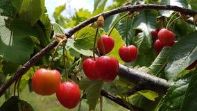 Le vert mûr de rouge de cerises part sur l'arbre, fond de ressort Images stock