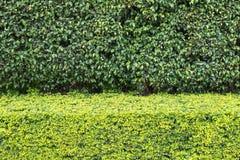 Le vert naturel laisse la texture et le fond de mur Images libres de droits