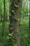Le vert, nouvel élevage part sur le tronc d'un arbre d'érable Photo libre de droits