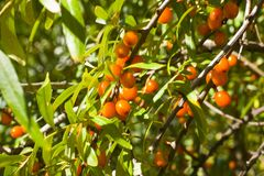 Le vert orange de baies d'argousier part sur des branches d'arbre images stock
