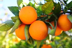 Le vert orange de fruits arboricoles de branchement part en Espagne Photographie stock libre de droits