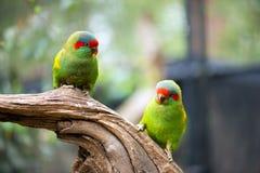 Le vert parrots le portrait Photo libre de droits