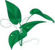 Le vert part avec des baisses de l'eau d'isolement sur un blanc Photos stock