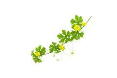 Le vert part avec la fleur jaune d'isolement sur le fond blanc Photographie stock