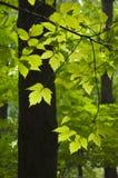 Le vert part dans les bois du jour ensoleillé Images stock