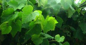 Le vert part dans le verger sous la forte pluie banque de vidéos