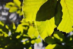 Le vert part le matin éclairé à contre-jour dans la région de kraj de Karlovarky dans la République Tchèque Images stock