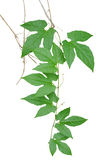 Le vert part palmately avec des vrilles et des branches sèches de sauvage Images libres de droits