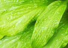 Le vert pousse des feuilles fond Photographie stock