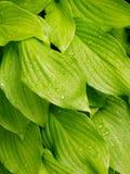 Le vert pousse des feuilles fond Photos stock