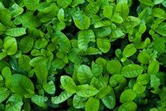 Le vert pousse des feuilles fond Images libres de droits