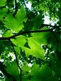 le vert pousse des feuilles érable Photo stock