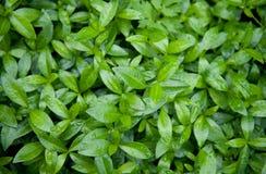 Le vert pousse des feuilles texture de fond image stock