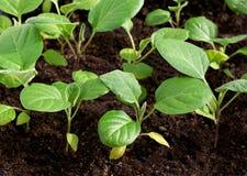 Le vert pousse des jeunes plantes Photos libres de droits