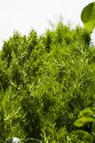 Le vert s'embranche Cypress Thuja image stock