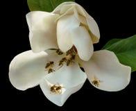 Le vespe raccolgono il nettare da un fiore della magnolia Fotografia Stock
