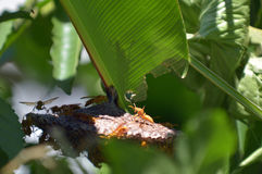 Le vespe si pettinano su un banano Fotografie Stock Libere da Diritti