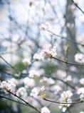 Le Viburnum fleurit au printemps Image stock