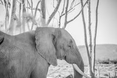 Le vieil éléphant de taureau jette la saleté au-dessus de son dos pour maintenir frais Image stock
