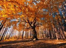Le vieil arbre Photo libre de droits