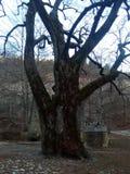 Le vieil arbre Photographie stock