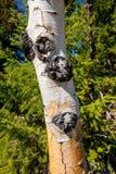 Le vieil arbre d'Aspen avec la rouille a coloré l'écorce et le pin Photographie stock libre de droits