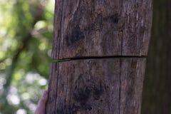Le vieil arbre est divisé Photographie stock libre de droits