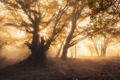 Le vieil arbre magique avec le soleil rayonne à la forêt brumeuse de lever de soleil Image libre de droits