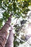 Le vieil arbre puissant avec le ressort vert part, foyer sélectif photographie stock libre de droits
