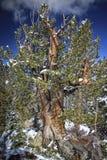 Le vieil arbre rocailleux photographie stock