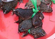 Le Vietnam Dong Hoi - grenouilles vivantes profondément grosses à vendre au marché. photos libres de droits