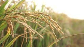 Le VIETNAM, le 15 avril la fleur de riz sur le champ banque de vidéos