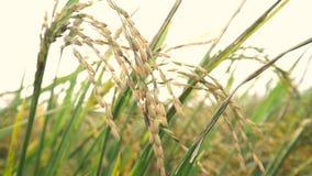 LE VIETNAM, LE 15 AVRIL : La fleur de riz sur le champ banque de vidéos